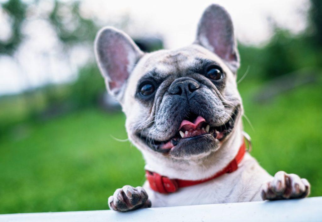 a cute french bulldog